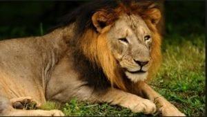 gir-lion