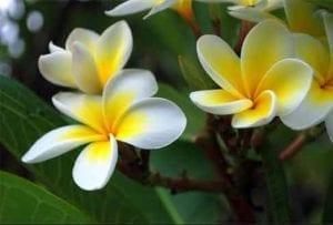 ketaki-flower